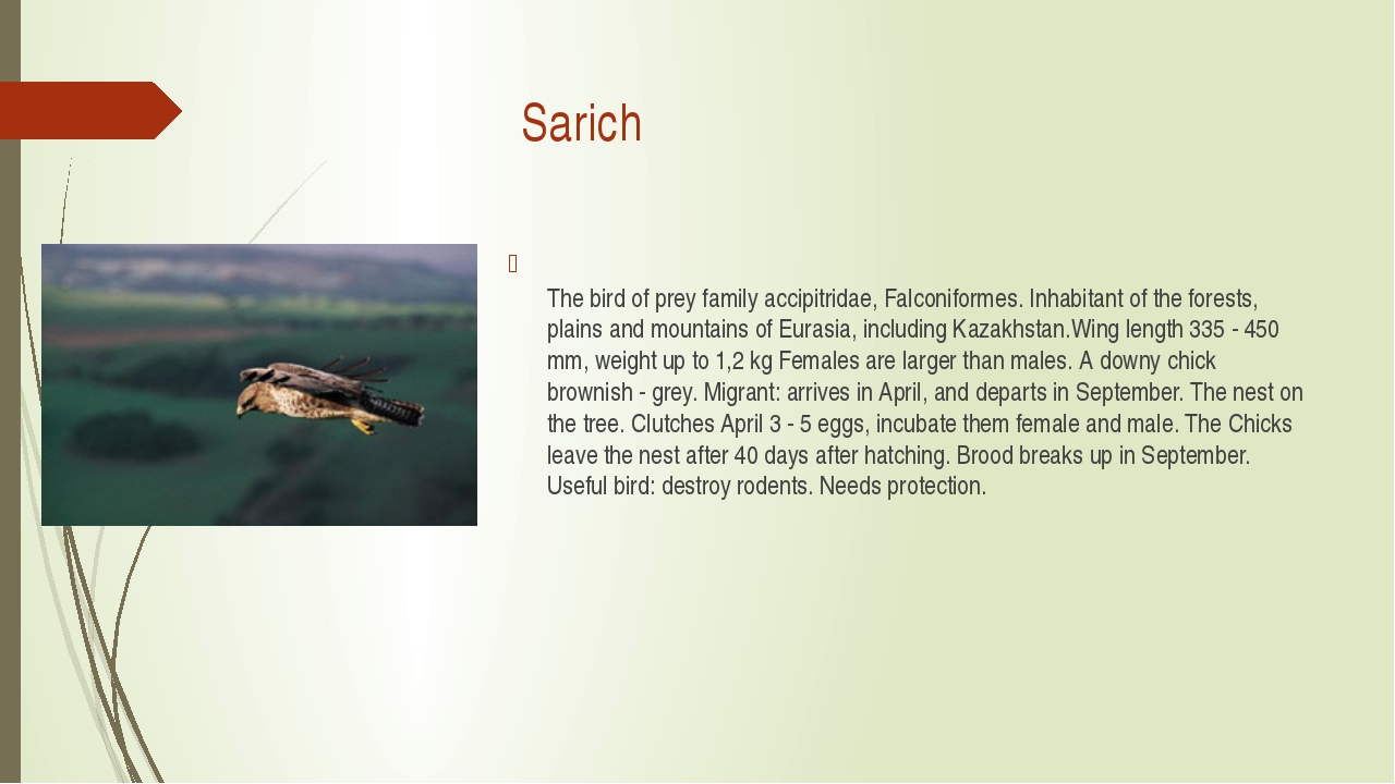 Sarich The bird of prey family accipitridae, Falconiformes. Inhabitant of th...