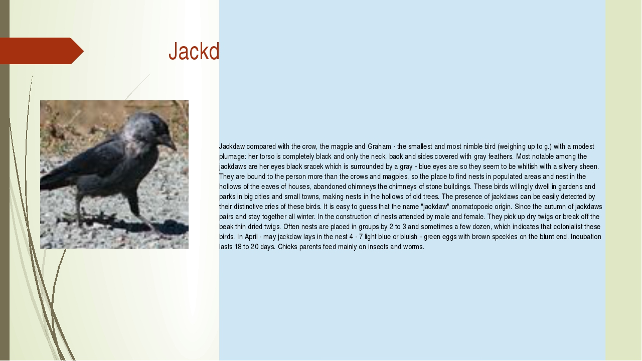 Jackdaw Jackdawcompared with the crow, the magpie and Graham - the smallest...