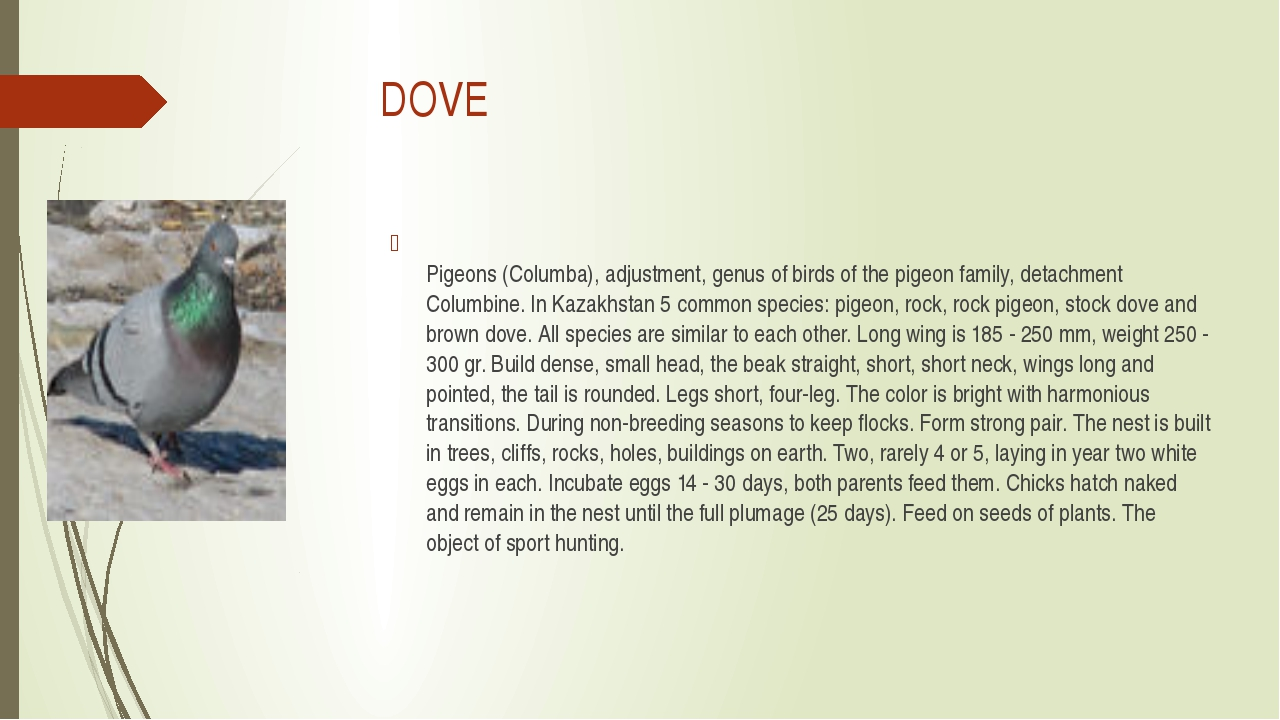 DOVE Pigeons (Columba), adjustment, genus of birds of the pigeon family, det...