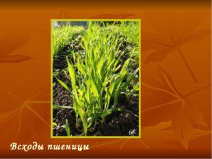 Всходы пшеницы