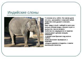 Индийские слоны У слонов есть хобот. На самом деле это нос, сросшийся с верхн