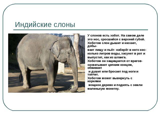 Индийские слоны У слонов есть хобот. На самом деле это нос, сросшийся с верхн...