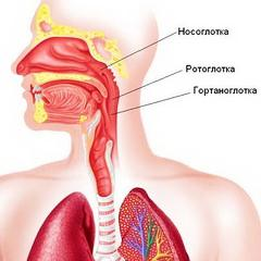 http://www.pigulka.ru/images/stories1/anatomija/glotka.jpg
