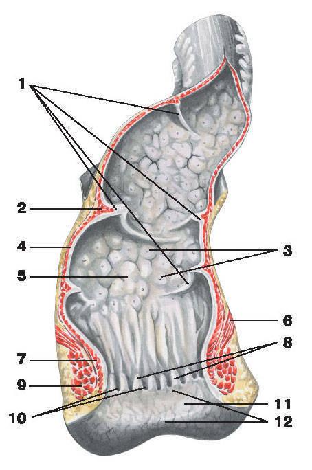 https://yastatic.net/encyc/illustrations/anatomy/pictures/174.jpg