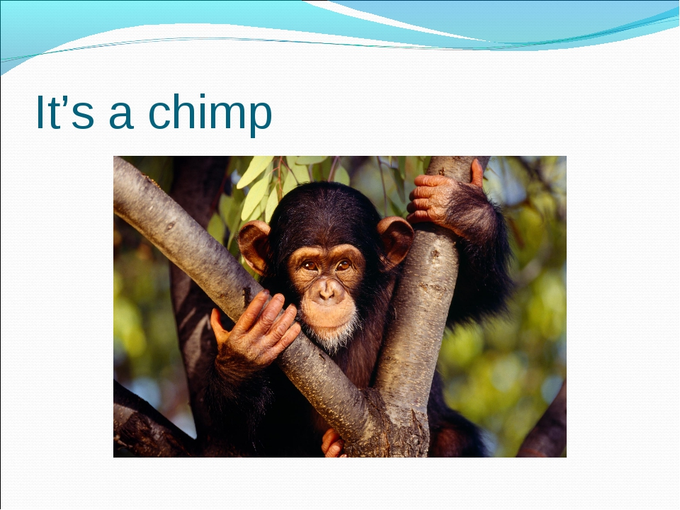 It's a chimp