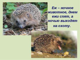 Еж – ночное животное, днем ежи спят, а ночью выходят на охоту.