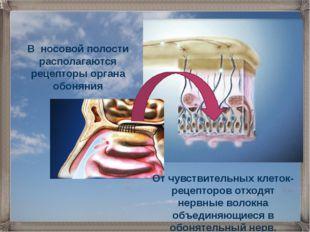 От чувствительных клеток-рецепторов отходят нервные волокна объединяющиеся в
