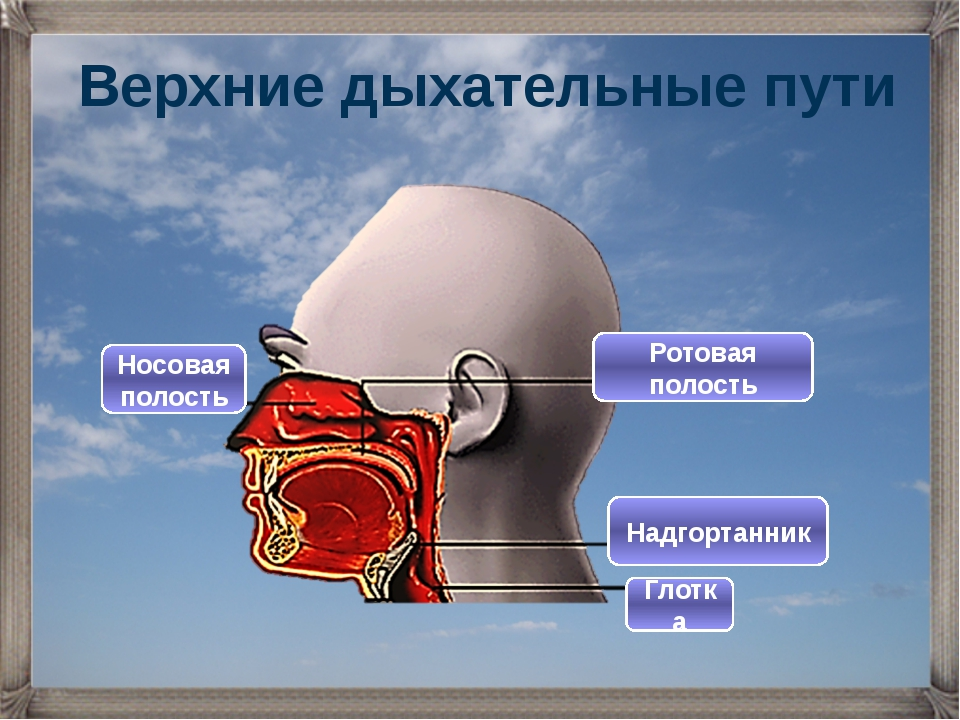 Верхние дыхательные пути Ротовая полость Носовая полость Глотка Надгортанник