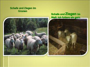 Schafe und Ziegen im Grunen