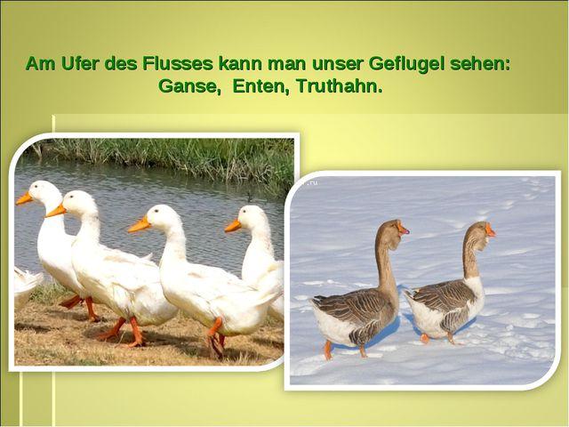 Am Ufer des Flusses kann man unser Geflugel sehen: Ganse, Enten, Truthahn.
