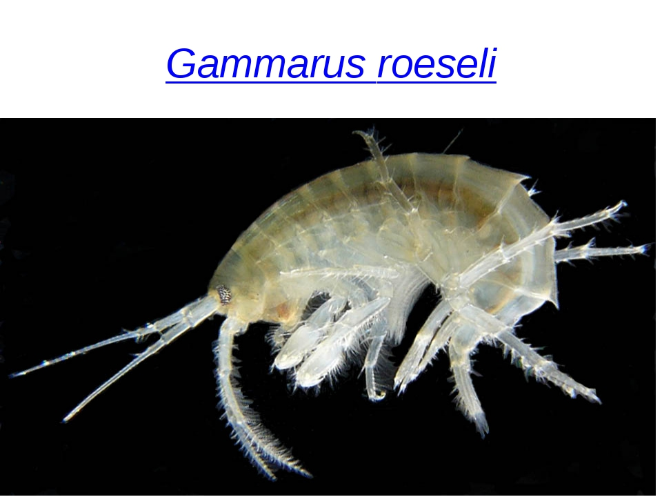 Gammarus roeseli