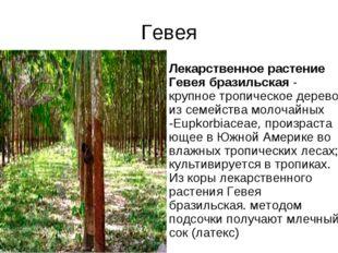 Гевея Лекарственное растение Гевея бразильская- крупное тропическое дерево и