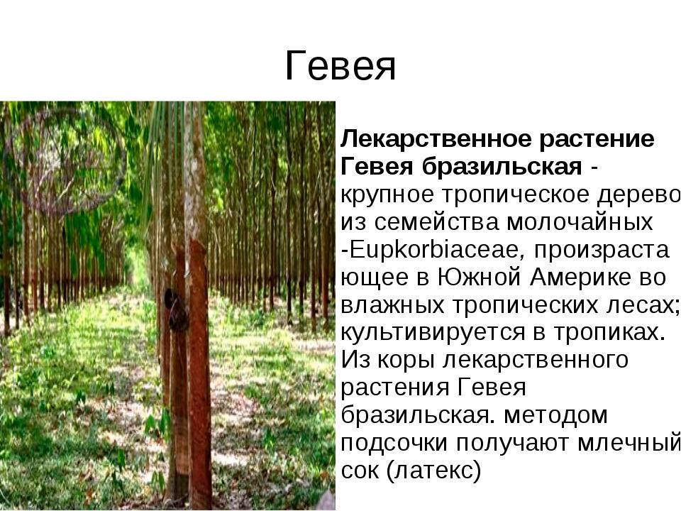 Гевея Лекарственное растение Гевея бразильская- крупное тропическое дерево и...