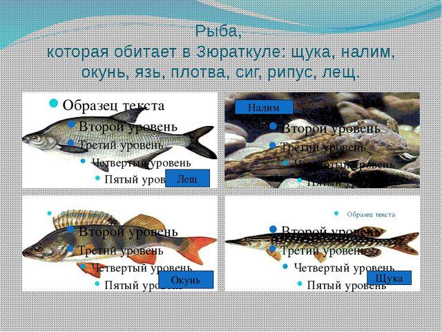 Рыба, которая обитает в Зюраткуле: щука, налим, окунь, язь, плотва, сиг, рипу...