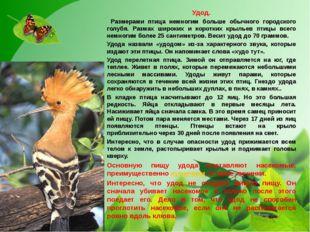 Удод. Размерами птица немногим больше обычного городского голубя. Размах шир