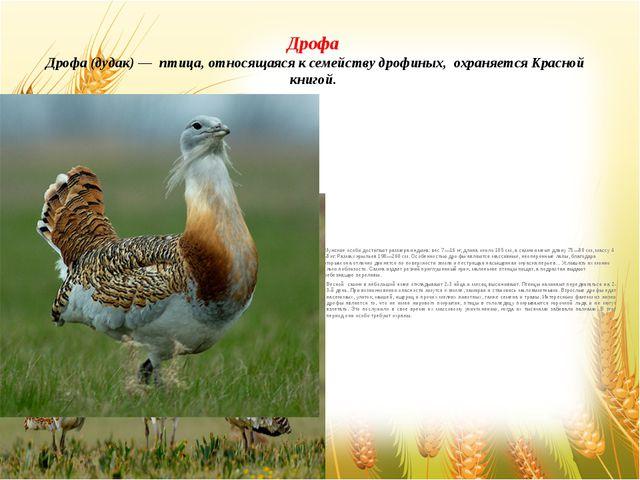 Дрофа Дрофа (дудак) — птица, относящаяся к семейству дрофиных, охраняется Кра...