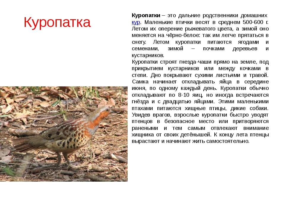 Куропатка Куропатки– это дальние родственники домашнихкур. Маленькие птичк...