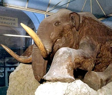 Таксодермическая скульптура мамонта Стёпы в натуральную величину.jpg