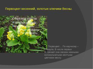Первоцвет весенний, золотые ключики Весны. Первоцвет… По-научному – примула.
