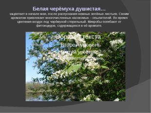 Белая черёмуха душистая… зацветает в начале мая, после распускания нежных зел