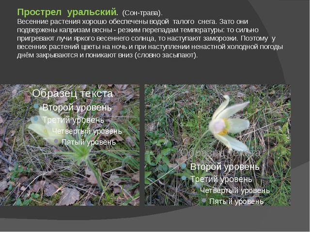 Прострел уральский. (Сон-трава). Весенние растения хорошо обеспечены водой та...
