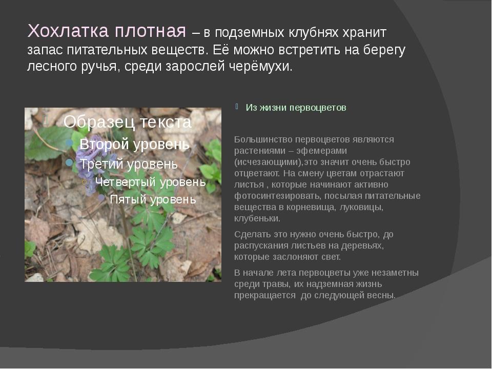 Хохлатка плотная – в подземных клубнях хранит запас питательных веществ. Её м...