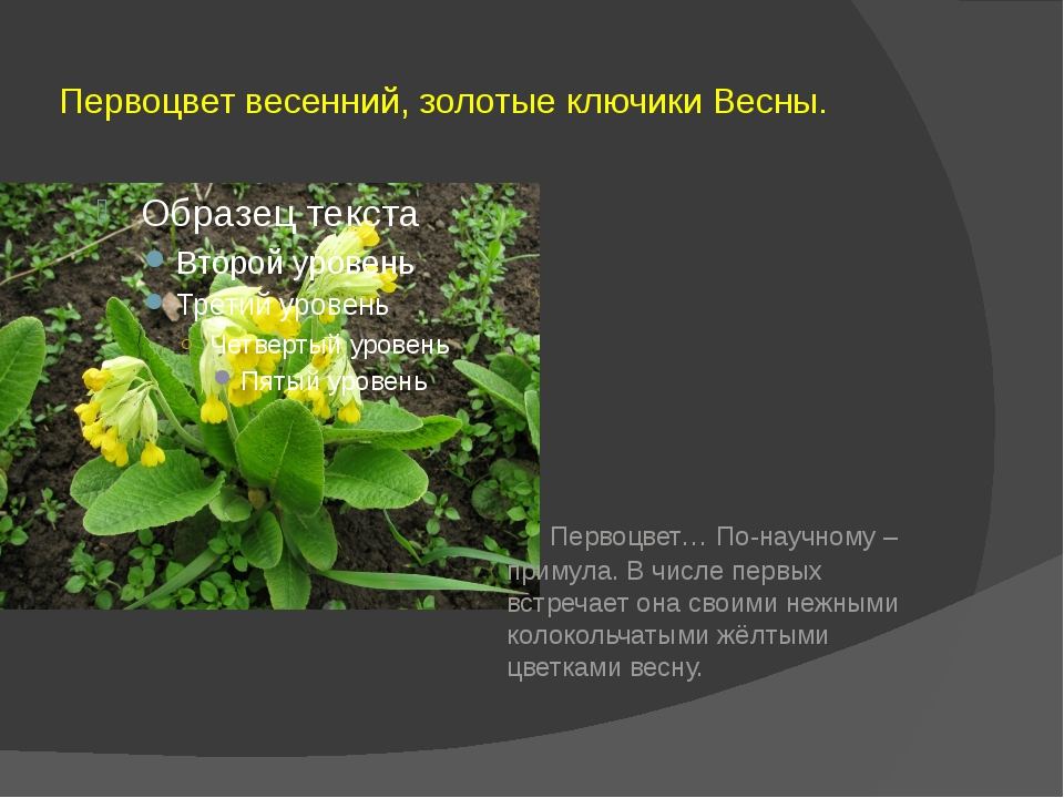 Первоцвет весенний, золотые ключики Весны. Первоцвет… По-научному – примула....