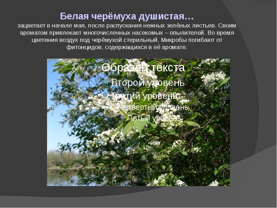 Белая черёмуха душистая… зацветает в начале мая, после распускания нежных зел...