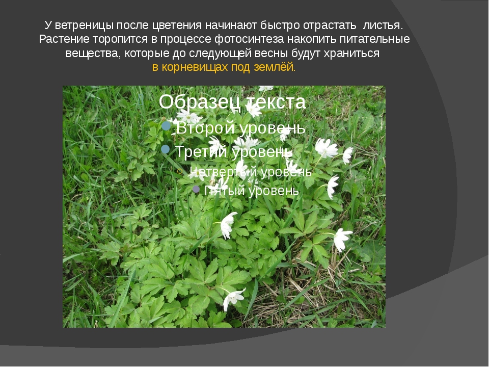 У ветреницы после цветения начинают быстро отрастать листья. Растение торопит...