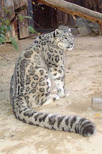https://upload.wikimedia.org/wikipedia/commons/thumb/9/99/Irbis6.jpg/210px-Irbis6.jpg