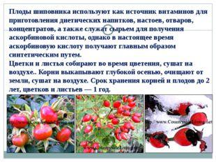 Плоды шиповника используют как источник витаминов для приготовления диетическ