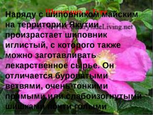 Шиповник в Туве Наряду с шиповником майским на территории Якутии произрастает