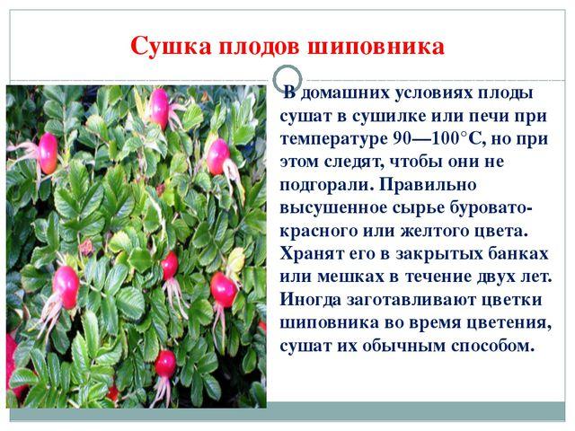В домашних условиях плоды сушат в сушилке или печи при температуре 90—100°С,...
