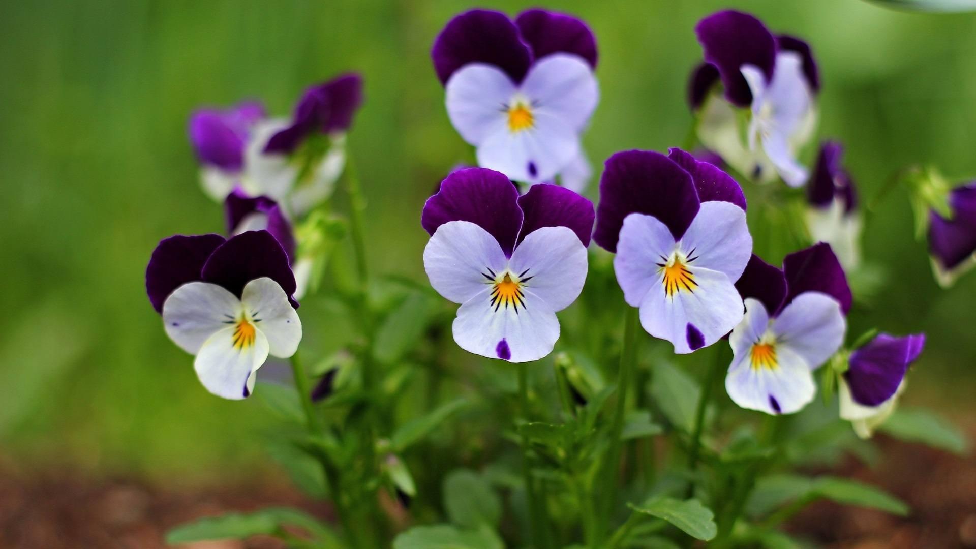 http://getbg.net/upload/full/www.GetBg.net_Nature___Flowers_Small_beautiful_flowers_pansy_065947_.jpg