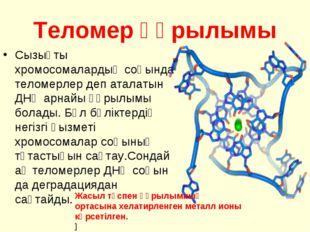 Теломер құрылымы Сызықты хромосомалардың соңында теломерлер деп аталатын ДНҚ