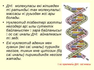 ДНҚ молекуласы екі жіпшеден тұратындықтан молекулалық массасы нәруыздан жоғар