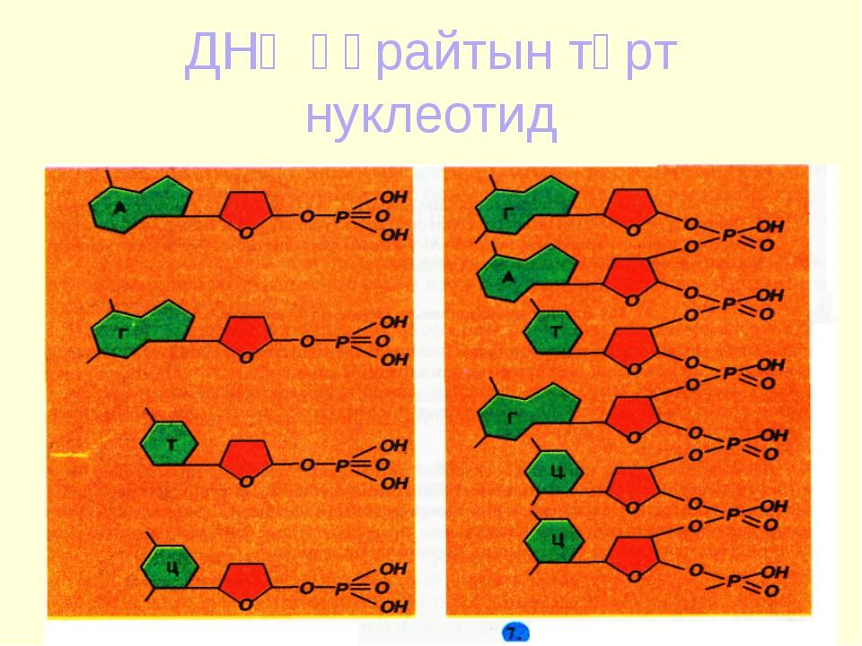 ДНҚ құрайтын төрт нуклеотид