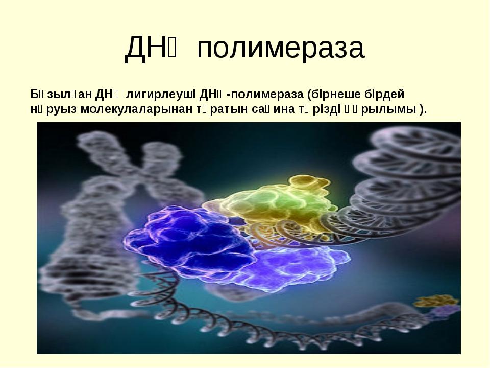 ДНҚ полимераза Бұзылған ДНҚ лигирлеуші ДНҚ-полимераза (бірнеше бірдей нәруыз...
