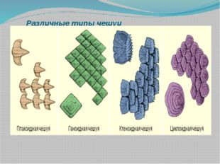 Различные типы чешуи