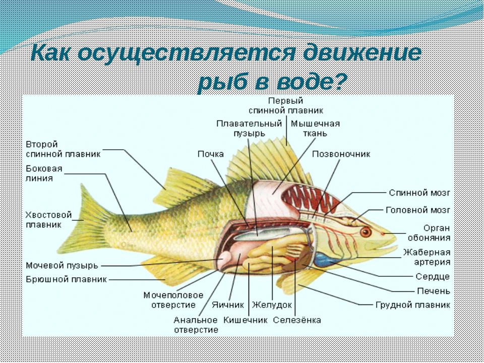 Как осуществляется движение рыб в воде?