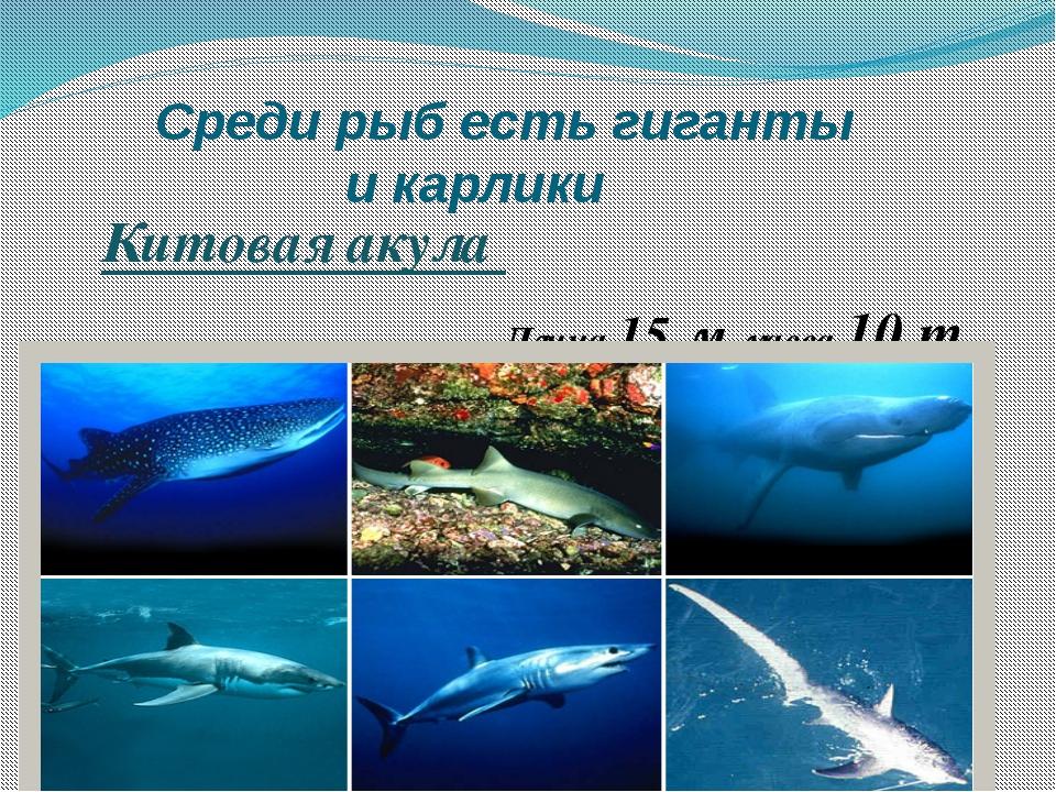 Среди рыб есть гиганты и карлики Китовая акула Длина 15 м, масса 10 т