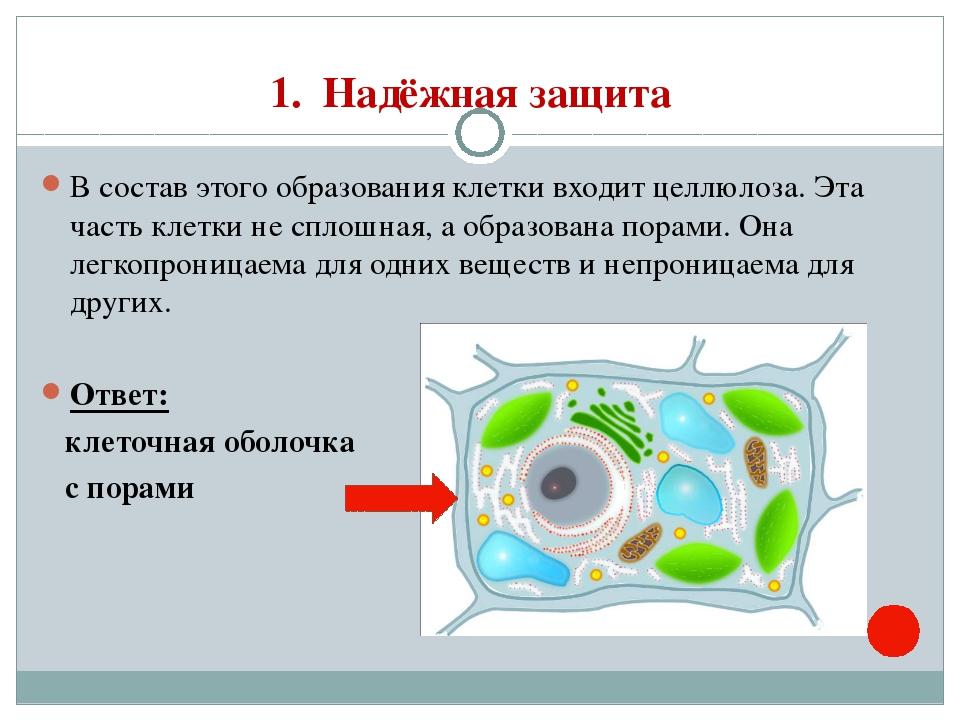 1. Надёжная защита В состав этого образования клетки входит целлюлоза. Эта ча...
