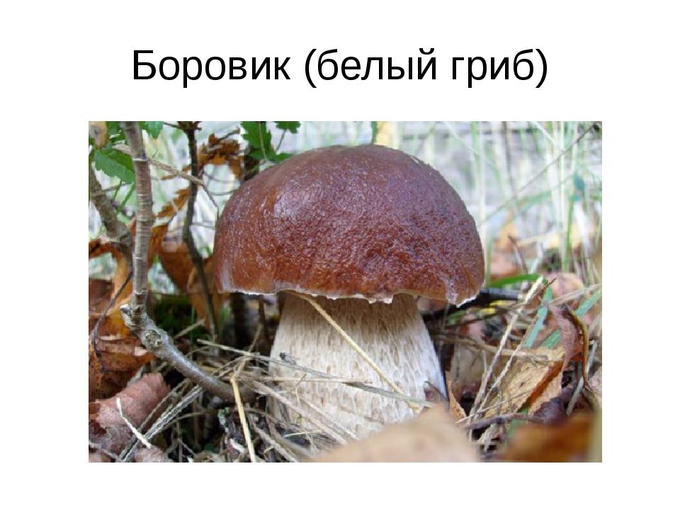 Боровик (белый гриб)