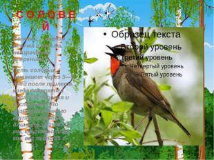 С О Л О В Е Й Соловей – певчая птичка с весьма невзрачным оперением. Петь со