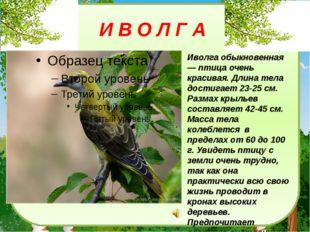 И В О Л Г А Иволга обыкновенная — птица очень красивая. Длина тела достигает