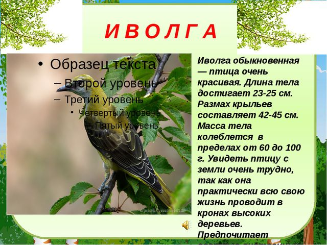 И В О Л Г А Иволга обыкновенная — птица очень красивая. Длина тела достигает...
