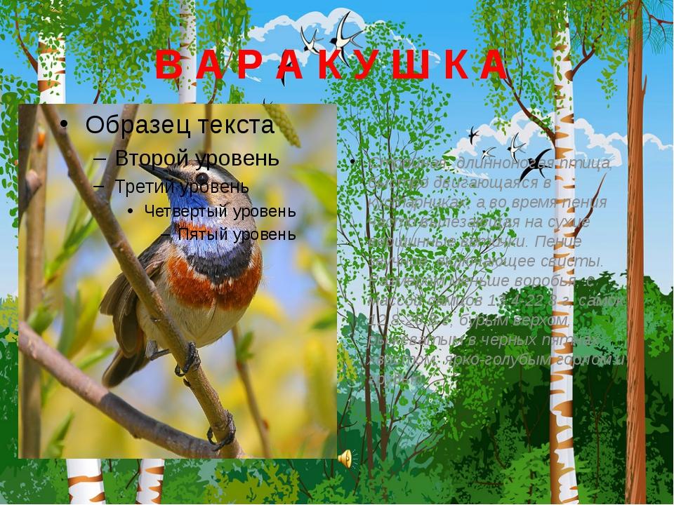 В А Р А К У Ш К А Стройная, длинноногая птица, быстро двигающаяся в кустарник...