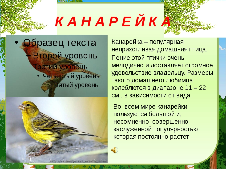 К А Н А Р Е Й К А Канарейка– популярная неприхотливая домашняя птица. Пение...
