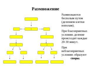 Размножение Размножаются бесполым путем (делением клетки пополам). При благоп