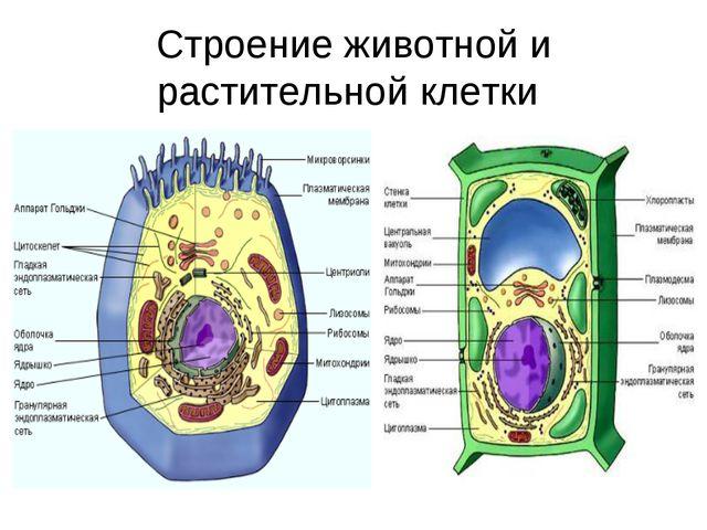 Строение животной и растительной клетки